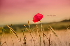 Poppy by Stphane Thirion photographer (tix) Tags: flowers red plant flower nature beautiful beauty de photography photo spring photographer photographie belgium belgique natural photos pics country natur photograph poppy luxembourg province stphane freelance photographe infographiste 500px etix thirion stephanethirion