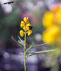 .:: Pairing to Dance ::. (omjinphotography) Tags: plant flower nature yellow insect flora bokeh tropic wildflowers wildplant photoart invertebrates plasticlens carpenterbees xylocopavirginica 50mmlens canon1100d rebelt3 tawonndas lebahkayu omjinphotography