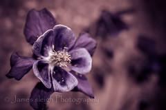 Nikon d5300 macro (Jasrmcf) Tags: pink flower detail macro petals nikon dof purple bokeh smooth nikkor bokehlicious d5300