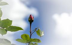 Rose. (Crilion43) Tags: rose france vreaux divers jardin centre canon paysage nuages fleurs cher arbres blanche brouillard ciel herbe jaune nature rouge rflex saumon