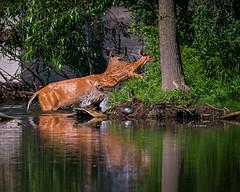 IslandHopping (jmishefske) Tags: park county june wisconsin pond nikon wildlife lagoon doe deer fawn milwaukee greenfield whitetail 2016 westallis d800e