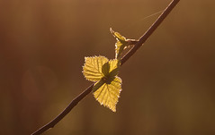 Birch leaves at sunset (Julia-88) Tags: trees macro nature leaves closeup backlight canon suomi finland leaf spring outdoor may birch finnish canoneos 2016 adobephotoshopelements 55250 canoneos500d canon55250mm