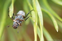 Beetle On Needles (Tom's Macro and Nature Photographs) Tags: pine montana insects beetles macrophotography coleoptera scarabbeetles scarabaeidae