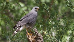 Gray Hawk   San Pedro River   Sierra Vista   AZ   2016-05-04at12-10-454 (HarmonyonPlanetEarth) Tags: nature birds slideshow
