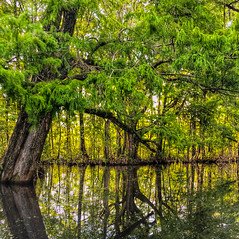 Swamp Reflections (toddmwise) Tags: trees lake reflection art nature colors clouds canon reflections landscape flickr florida explore swamp cypress fl cypresses panasoffkee inexplore canon6d