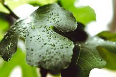 garden (1 of 5) (nngmao) Tags: nature leaves garden waterdroplets wetleaves