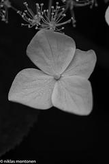 Midsummer morning walk (aixcracker) Tags: summer white flower macro june misty juni suomi finland nikon midsummer dew micro blomma makro midsommar f28 porvoo juhannus sommar kes 105mm nrbild vit keskuu kukka kaste borg dagg lhikuva sumuinen valkoinen dimmig nikond800