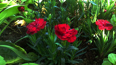 110 (jurinkof) Tags: fleurs blüten 花卉 цветы kvety květy