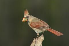 Northern Cardinal, female (AllHarts) Tags: ngc memphistn backyardbirds femalenortherncardinal naturescarousel