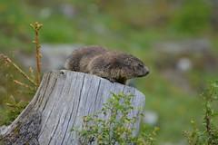 DSC_4873 (d90-fan) Tags: animals outdoors austria tiere sterreich natur marmot schnecke rauris murmeltier fohlen hohetauern wildnis tauern krumltal murmeltiere raurisertal
