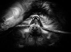 (Svein Nordrum) Tags: blackandwhite bw monochrome fur eyes noir coat nero
