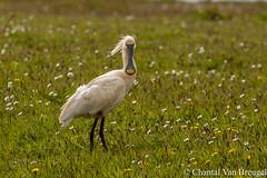 lepelaar (Chantal van Breugel) Tags: vogels texel canon70300 lepelaar canon50d wagejot