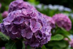 -926 (Mio:D) Tags: flower hydrangea  ise