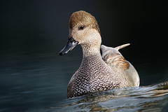 A Gorgeous Gadwall (Patricia Ware) Tags: california canon losangeles flash fullframe kennethhahnpark gadwall anasstrepera ef400mmf56lusm specanimal httppwarezenfoliocom 2016patriciawareallrightsreserved