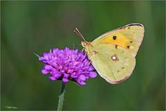 Colias crocea. (valpil58) Tags: macro butterflies nikkor ais 80200mm colias crocea nikond7200