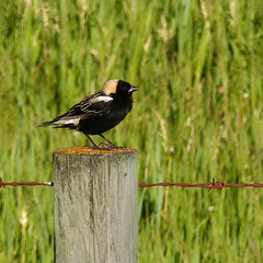 It's the Bobolink again (annkelliott) Tags: canada male bird nature field grass birds spring adult outdoor alberta perched sideview ornithology avian fencepost icteridae bobolink dolichonyxoryzivorus annkelliott anneelliott swofcalgary fz200 1618cm6371inlong fz2003 15june2016