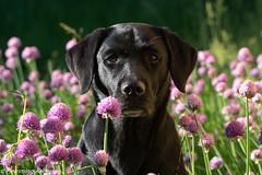 FAN_8054.jpg (Flemming Andersen) Tags: summer denmark outdoor hund dk hurupthy northdenmarkregion helligsvej hebojebi