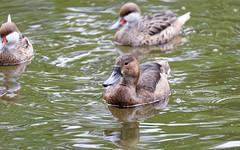 DSC08578_DxO (Franck Zumella) Tags: reflection bird water rouge duck eau teal bec reflexion oiseau canard brun mottled redbilled