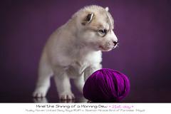 Day 21 Miriel (Emyan) Tags: dog animals puppy husky 21 days siberian