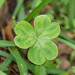 "Clover • <a style=""font-size:0.8em;"" href=""http://www.flickr.com/photos/26088968@N02/16649631894/"" target=""_blank"">View on Flickr</a>"