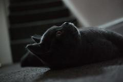 Cute little nose (blackleech7) Tags: buddy britishshorthair 30mm nx300 samsungnx300