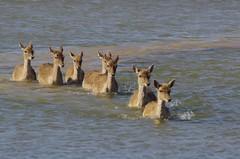 Parc natural dels Aiguamolls de l'Empord (Catalogne) (PierreG_09) Tags: tang daim faune catalogne damadama cervid daine marcage parcnaturaldelsaiguamollsdelempord