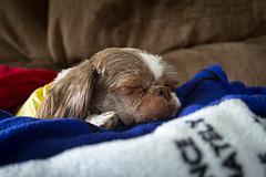 Lucy Sleeping (Amarand Agasi) Tags: sleeping dog lucy shihtzu couch sleepy blanket utata blankets primarycolors comfy snoozing freshlygroomed puppycut