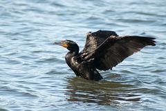 BlackBird (jorger101) Tags: black bird double cormorant crested