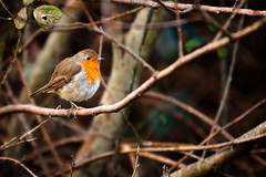 Robin, Newport Wetlands (SimonBarclay.com) Tags: uk greatbritain nature robin birds southwales wales britishisles unitedkingdom newport gwent newportwetlands