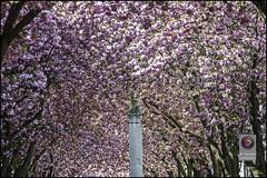 Bonn-Kirschbluete-16 (kurvenalbn) Tags: deutschland bonn pflanzen blumen nordrheinwestfalen frhling kirschbluete