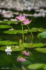 - Water lily - - Fen-Yuan Township - Chang-Hua County (prince470701) Tags: waterlily taiwan  sigma70300mm   changhuacounty sonya850 fenyuantownship