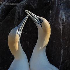 Jan van Gent / Gannet (photovansoest | nature & wildlife photography) Tags: wild canada bird birds newfoundland wildlife vogels vogel 2014 stbrides newfoundlandandlabrador newfoundlandenlabrador capesaintmarysparkreserve