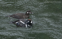 """Harlequin Duck • <a style=""""font-size:0.8em;"""" href=""""http://www.flickr.com/photos/63501323@N07/17108073484/"""" target=""""_blank"""">View on Flickr</a>"""