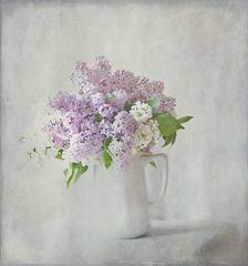 Mi perfume favrito (saparmo) Tags: flores primavera lilac lilas lilasblancas