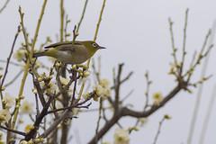 / White-Eye on Plum Tree (kimtetsu) Tags: bird japan blossom plum   osaka  whiteeye   flowrt