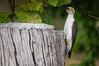 "White Woodpecker <a style=""margin-left:10px; font-size:0.8em;"" href=""http://www.flickr.com/photos/41134504@N00/17161585180/"" target=""_blank"">@flickr</a>"