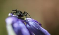 Pour changer des cervids (Eric Penet) Tags: macro animal printemps fort araigne sauvage faune arachnide salticidae arachnidae avesnois salticide sauteuse saltique mormal locquignol