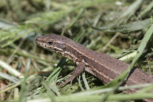 Common Wall Lizard - Podarcis muralis