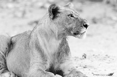 Be Still (wenzday01) Tags: park travel sunset bw nature animal nationalpark nikon wildlife lion sigma monotone safari adobe botswana chobe kasane lightroom gamedrive lionness chobenationalpark d7000 chobechilwero nikond7000 sanctuaryretreats 120400mmf4556afapodgoshsm