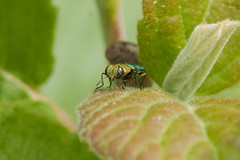 Zierlicher Prachtkfer Mnnchen (planetvielfalt) Tags: deutschland coleoptera sachsenanhalt buprestidae polyphaga elateriformia beifreyburg