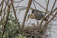 Shadow Cliffs (May 15, 2016) (matxutca (cindy)) Tags: heron birds outdoors nesting nests pleasantonca shadowcliffs ebparksok