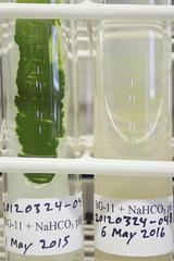 ORNG0362 (David J. Thomas) Tags: culture cave algae microbiology slant agar cyanobacteria phycology lyoncollege bg11 photobiont phycobiont