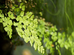 Avenca (Leonardo Martins) Tags: planta nature dof natureza maidenhair avenca