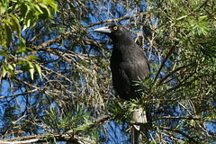 Currawong (Paradise Photos) Tags: nature fauna lens with wildlife sony queensland kit currawong kookaburra nerang corella wildbird 1650mm a6000 sonya6000 wildlifeinnerang