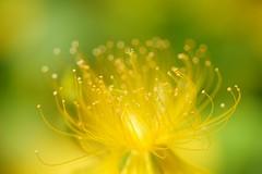 ()/Hypericum chinense var. salicifolium (nobuflickr) Tags: flower nature japan kyoto     awesomeblossoms hypericumchinensevarsalicifolium  kamogawariverhananokairou 20160531dsc01004