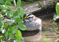 Blendon Woods- White Thrtd Sparrow bathing 1 (Birderpics) Tags: bird woods sparrow whitethroated blendon blendonmagee