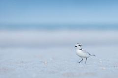 Snowy Plover (PeterBrannon) Tags: bird beach nature seashells sand florida wildlife plover shorebird charadriusalexandrinus snowyplover smallwhiteshorebird