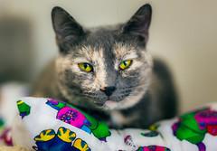 Leave me alone... (Arutemu) Tags: portrait pet pets animal animals cat canon 50mm bokeh f14 kitty sigma shelter      animalportrait  canon6d  sigmaart
