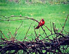 Cardinal in the rain (dianecordell) Tags: birds spring backyard may grapevine cardinals queensburyny