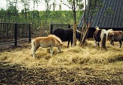 32-28-86 38 - Mini Horses